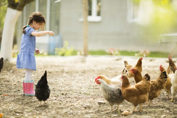 Keeping chickens will give children a sense of responsibility as they help out with feeding the chickens and collecting the eggs.