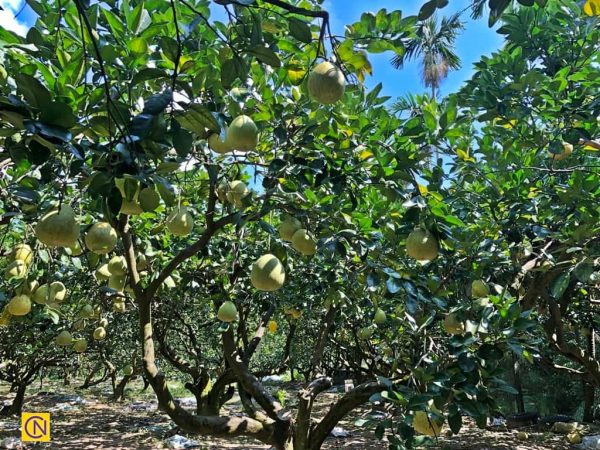 The King Ming Chang Leisure Farm also plants some Peiyu (Citrus grandis Osbeck) in its pomelo orchards.