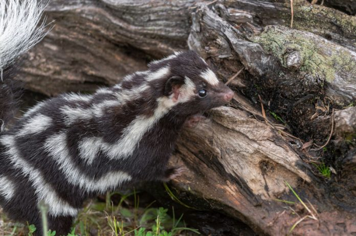A spotted skunk sits beside a log.
