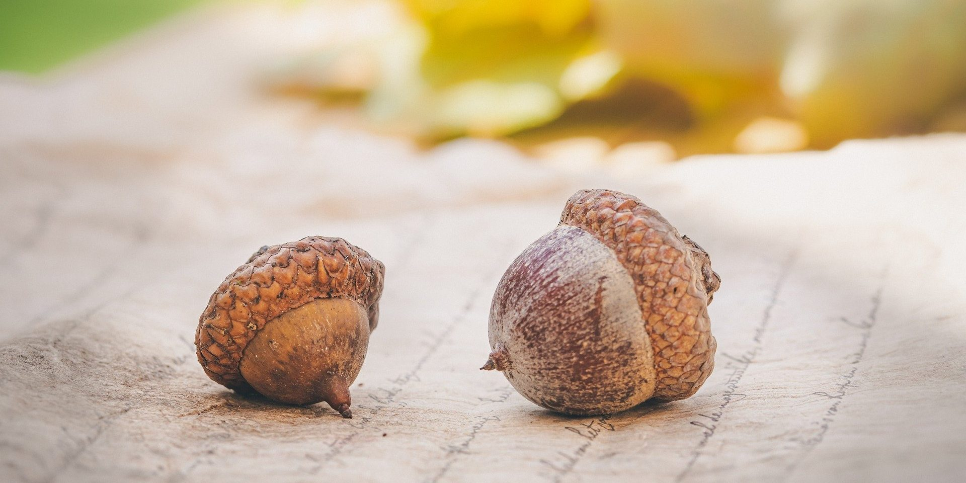 Two acorns with oak leaves in the background.